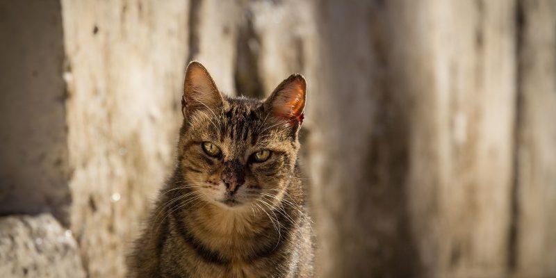 Egeïsche kat