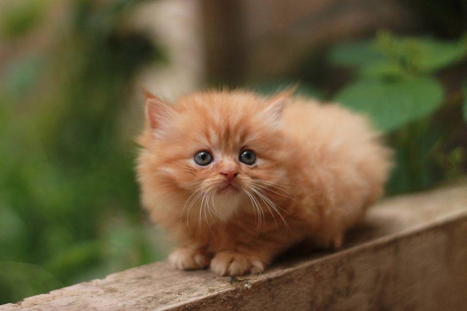 Perzische kat kitten