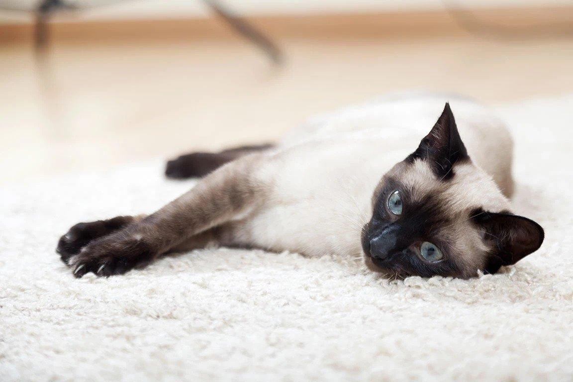 tokinees kattenras