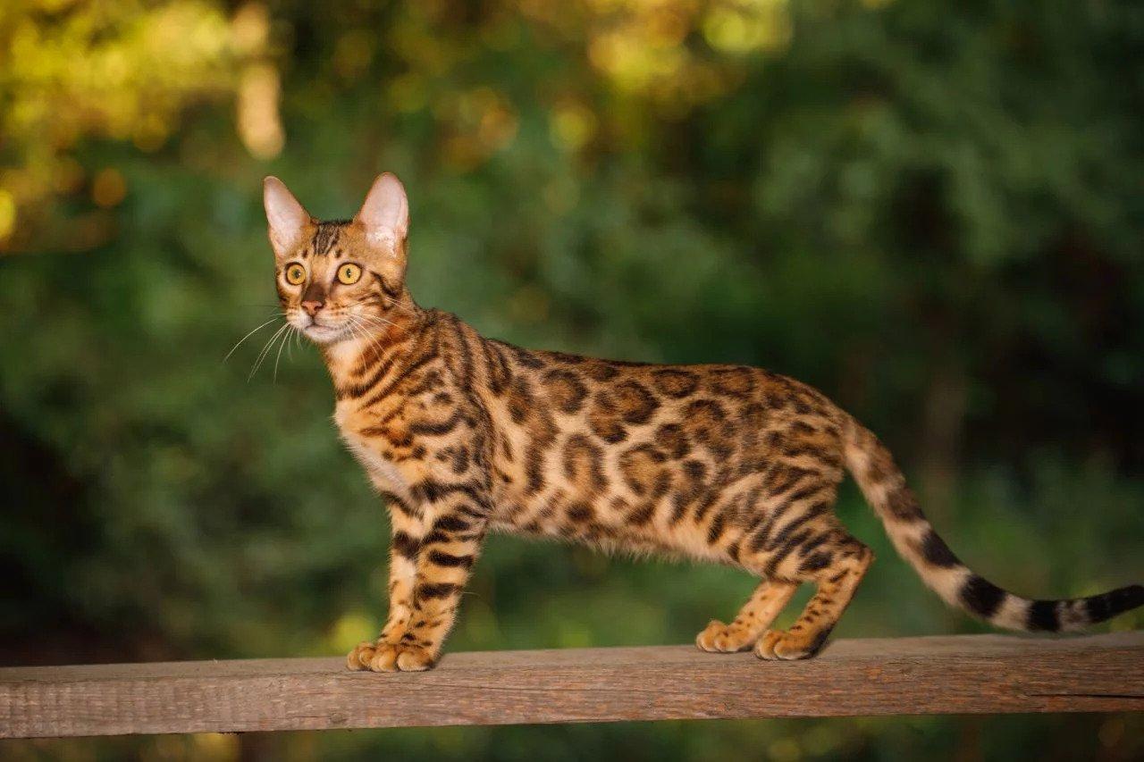 bengel kat